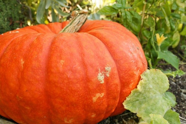 Cinderella pumpkin...sometimes called a fairy tale pumpkin.