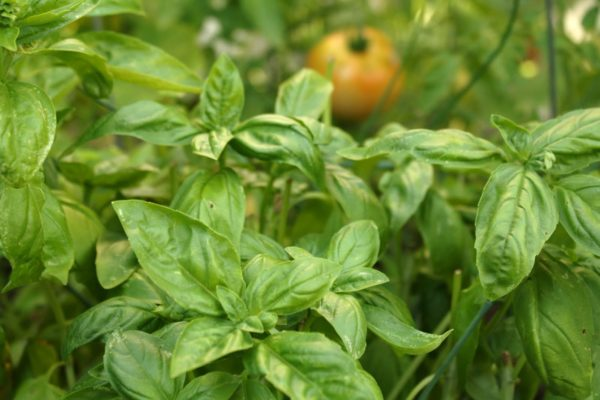 Italian or Genovese Basil