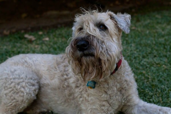Annabelle, Irish Soft-Coated Wheaten Terrier